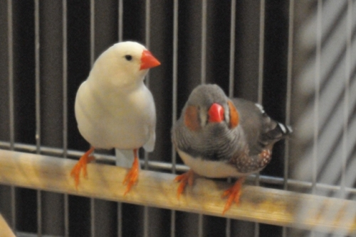 Finches - Casper and Ozzie